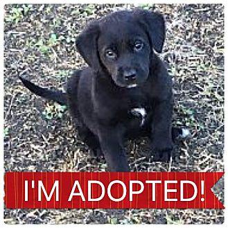 Shepherd (Unknown Type)/Rottweiler Mix Puppy for adoption in Regina, Saskatchewan - Happ