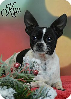 Toy Fox Terrier Dog for adoption in Abilene, Texas - Kya