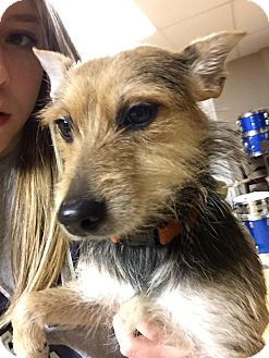 Wirehaired Fox Terrier/Yorkie, Yorkshire Terrier Mix Dog for adoption in Acworth, Georgia - Pepper Qiana