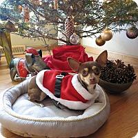 Adopt A Pet :: Jingle - Denver, CO