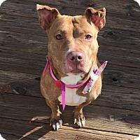 Adopt A Pet :: Sheba - Glenolden, PA