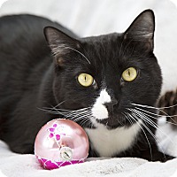 Domestic Shorthair Cat for adoption in Bristol, Connecticut - Chester