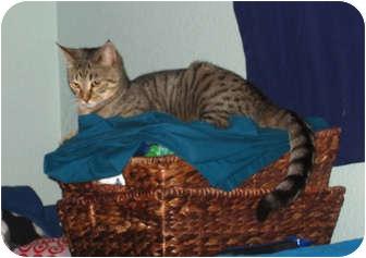 Domestic Shorthair Cat for adoption in Davis, California - Joy