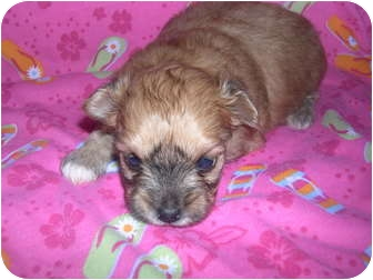 Teacup Pomapoo Puppies | Adopted Puppy | Wauseon, OH ...