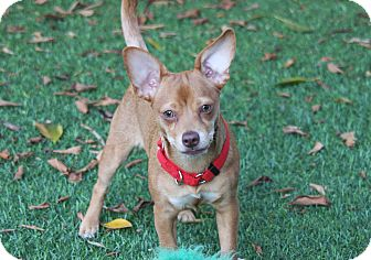 Chihuahua/Dachshund Mix Puppy for adoption in Lake Forest, California - Bunny