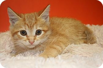 Domestic Shorthair Kitten for adoption in SILVER SPRING, Maryland - JUSTIN