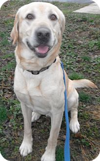 Labrador Retriever Dog for adoption in Jackson, Michigan - Buck Wild