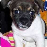 Adopt A Pet :: Wyatt - Gilbert, AZ