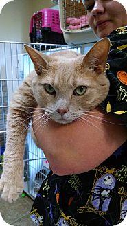 Domestic Shorthair Cat for adoption in Armuchee, Georgia - Leroy