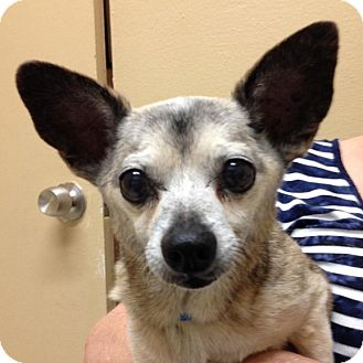 Chihuahua Mix Dog for adoption in Phoenix, Arizona - Everly