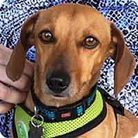 Adopt A Pet :: Yukon Cornelius - Houston, TX