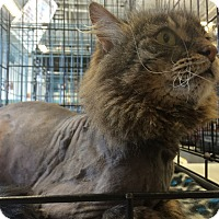 Maine Coon Cat for adoption in Toledo, Ohio - Griffin
