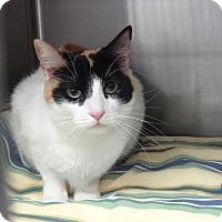 Domestic Shorthair Cat for adoption in Tucson, Arizona - SUGAR