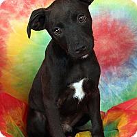 Adopt A Pet :: Leonard Min Pin Dash Mix - St. Louis, MO