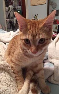 American Shorthair Kitten for adoption in Santa Fe, Texas - Van