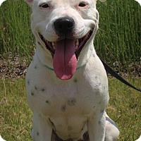 American Staffordshire Terrier/Dalmatian Mix Dog for adoption in Houston, Texas - Bonnie