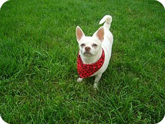 Chihuahua Mix Dog for adoption in Toronto, Ontario - Scooter 3346