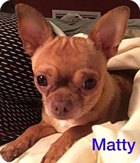 Chihuahua Dog for adoption in Hedgesville, West Virginia - Matty