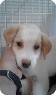 Blue Heeler/Labrador Retriever Mix Puppy for adoption in Mantua, New Jersey - Cooper