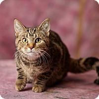 Domestic Shorthair Kitten for adoption in Harrisonburg, Virginia - Kizzy