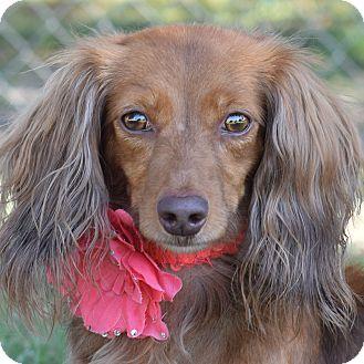 Dachshund Mix Dog for adoption in Denver, Colorado - Goldilocks