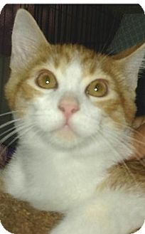 Domestic Shorthair Kitten for adoption in Hillside, Illinois - Cheez-it-4 MONTHS -AT PETCO!