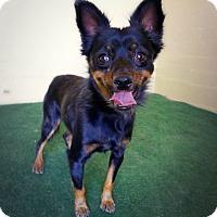 Adopt A Pet :: Scooby - Casa Grande, AZ