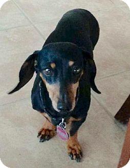 Dachshund Dog for adoption in Dallas, Texas - Pearl