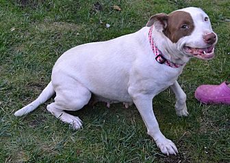 Pit Bull Terrier Mix Dog for adoption in Santa Rosa, California - Arie