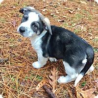 Adopt A Pet :: Beatrix - Haggerstown, MD