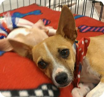 Chihuahua Mix Puppy for adoption in Phoenix, Arizona - tank