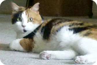 Calico Cat for adoption in Seminole, Florida - CoCo