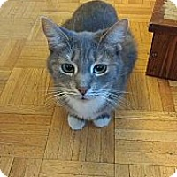 Domestic Shorthair Cat for adoption in Toronto, Ontario - Ava - Foster