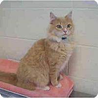 Adopt A Pet :: Comet - Arlington, VA