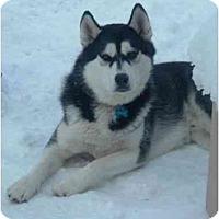 Adopt A Pet :: Kodiak (Flagstaff) - Scottsdale, AZ