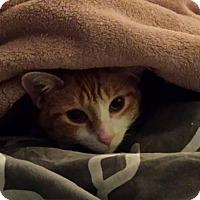 Domestic Shorthair Cat for adoption in Wauconda, Illinois - Singer