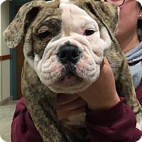 Adopt A Pet :: Pete - Park Ridge, IL