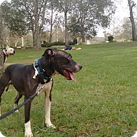 American Pit Bull Terrier/American Staffordshire Terrier Mix Dog for adoption in Santa Monica, California - KANYE