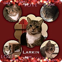 Domestic Shorthair Cat for adoption in Manchester, New Hampshire - Larkin