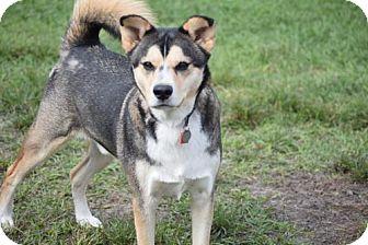 Siberian Husky/German Shepherd Dog Mix Dog for adoption in Jupiter, Florida - Buddy