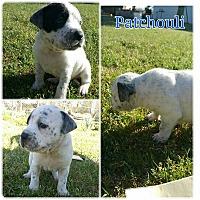 Adopt A Pet :: Patchouli - Greensboro, NC