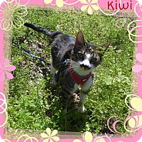 Domestic Shorthair Cat for adoption in Fort Worth, Texas - Kiwi
