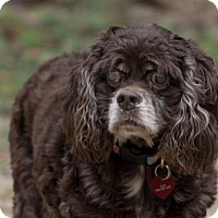 Cocker Spaniel Dog for adoption in Tallahassee, Florida - Sarah