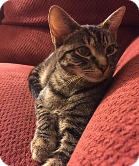 Domestic Shorthair Cat for adoption in Ellicott City, Maryland - .Merlin