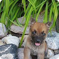 Adopt A Pet :: FOXX - Winnipeg, MB