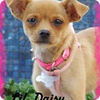 Adopt A Pet :: Lil Daisy - Anaheim Hills, CA