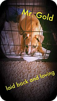 American Pit Bull Terrier Mix Dog for adoption in Fayetteville, North Carolina - Mr. Gold