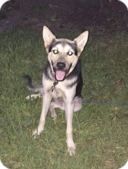 German Shepherd Dog Mix Dog for adoption in Houston, Texas - Oscar