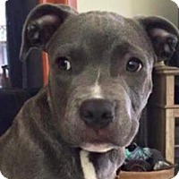 Pit Bull Terrier Mix Puppy for adoption in San Ramon, California - Bubba Jr.