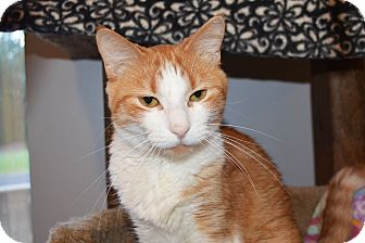 Domestic Shorthair Cat for adoption in Lincoln, Nebraska - Piper